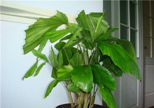 уход за пальмой в домашних условиях пахирой в домашних условиях