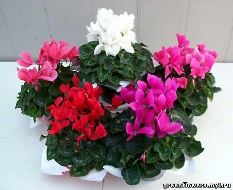 Цикламен (Cyclamen) относится к семейству Первоцветных (Primulaceae).  Другие названия: альпийская фиалка...