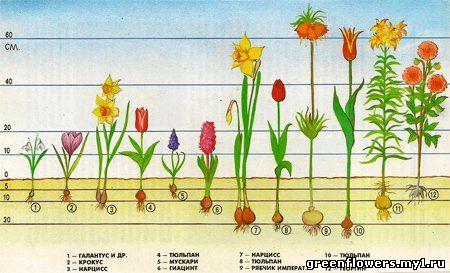 фото луковичных комнатных цветов: