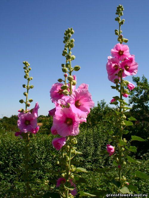 Цветы с фото комнатные растения с