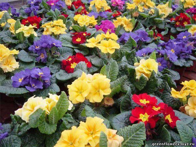 18 апреля 2010 Просмотров: 2116.  Примулы- в основном многолетние корневищные травы...