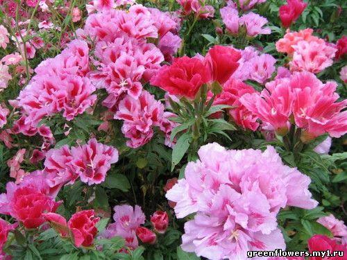Семена цветов почтой купить в надежном интернет магазине