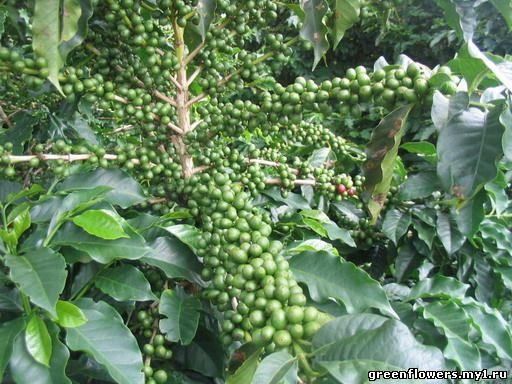 Кофе Арабика с плодами